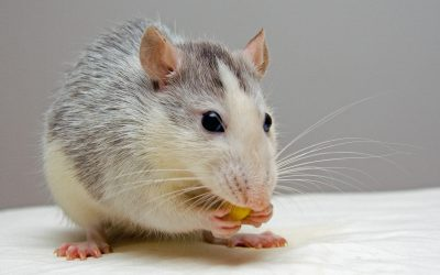 Handling a Rodent Infestation: A Complete Guide